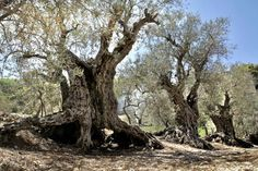 oldest+trees+of+the+world | Lebanon Has The World's Oldest Living Olive Trees | A Separate State ...