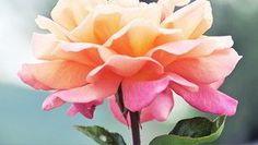 O amor surge quando aprendemos a admirar as qualidades de uma pessoa, que com sua simples presença, nos faz sentir especial.