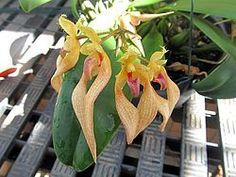 Bulbophyllum bicolor.JPG
