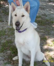 Casey is an adoptable White German Shepherd Dog in Okeechobee, FL. Casey is a very sweet dog. She has been trained and well behaved. She needs a family that would have time to give her attention, she ...