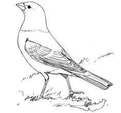 brown headed cowbird coloring page