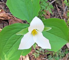 LARGE-FLOWERED TRILLIUM: (Trillium gandiflorum). Photographed at Hell's Hollow, McConnell's Mill State Park, Lawrence County, PA.
