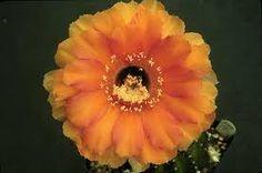 Resultado de imagen de echinopsis freak
