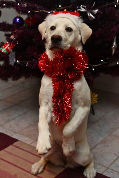 Merry Christmas!                                        -Dog ¸.•♥•.  www.pinterest.com/WhoLoves/Christmas  ¸.•♥•.¸¸¸ツ #Christmas
