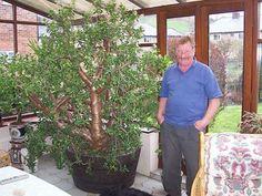 27 Year old Crassula Ovata; Crassula Ovata, Plante Crassula, Echeveria, Cacti And Succulents, Planting Succulents, Planting Flowers, Outdoor Plants, Outdoor Gardens, Jade Plant Care