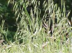 Slender Oat grass