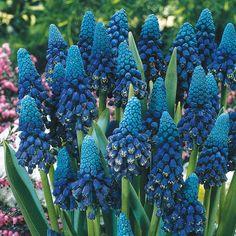 Muscari paradoxum   // Great Gardens & Ideas //