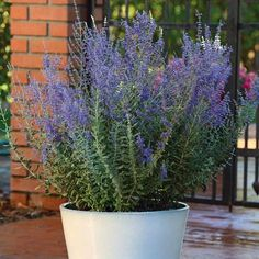 Finally a more consistent solution to everyone's favorite Russian sage! 'Blue Steel' is one of the first consistent seed strains available, producing aromatic silvery foliage with its trademark clouds of denim blue flowers. As the name implies, this plant is tough as steel! Very drought and heat tolerant, it grows in some of your toughest spots. Plant name: Perovskia atriplicifolia 'Blue Steel' Growing conditions: full sun Size: 30-36 inches tall by 20-38 inches wide Zone: 4-9 Grow it with…