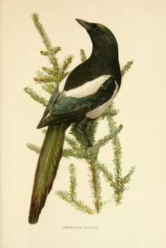 The second book of birds, featuring the incomparable artistry of illustrator Louis Agassiz Fuertes...  Biodiversity Heritage Library