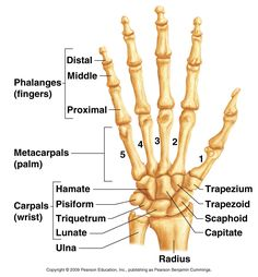 In this image, you will find distal phalanges, distal finger, middle phalange, middle finger in the anatomy of the hand. Human Skeleton Anatomy, Human Body Anatomy, Human Anatomy And Physiology, Muscle Anatomy, Hand Bone Anatomy, Anatomy Bones, Ankle Anatomy, Skull Anatomy, Medical Anatomy