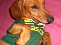 Image result for bokkie dog