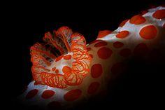 nudibranchs are sea slugs