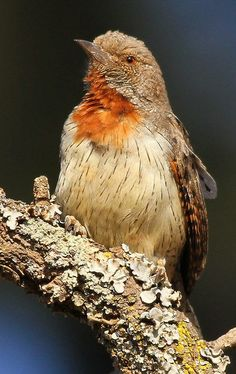 Red-throated Wryneck, Jynx ruficollis at Rietvlei Nature Reserve, Gauteng, South Africa