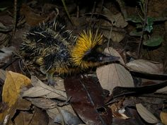 Animals That You Didn't Know Exist - Lowland Streaked Tenrec