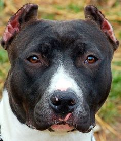 Rescue-a-Bull.org    rescue org for bullys, all animals are fostered before adoption :)