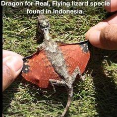 Flying Lizard species.