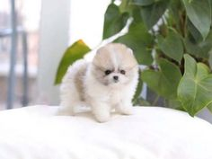 Browse the widest, most trusted source of micro teacup puppies for sale, from teacup french bulldog for sale ny to micro pomeranian for sale, Teacup Pomsky. Teacup Dogs For Sale, Micro Teacup Puppies, Tiny Puppies, Puppies For Sale, Cute Puppies, Teacup Puppy Breeds, Pomeranian Puppy, Teacup Pomeranian, Pomsky