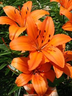 Tiger Lilies - our SK flower