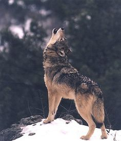 Wolf form : Photo