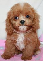 Cavapoo puppy for sale near Columbus, Ohio f547cd692b31