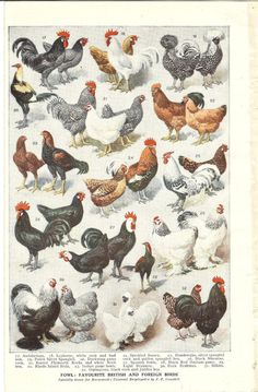 1922 Vintage Print of Breeds Of Hens Chickens Double Sided. Ideal For Framing Fancy Chickens, Keeping Chickens, Chickens And Roosters, Chickens Backyard, Hen Chicken, Chicken Art, Chicken Breeds Chart, Farm Animals, Animals And Pets
