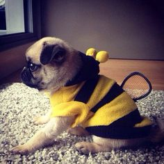 Pug in bee outfit