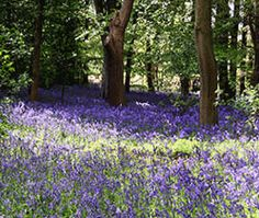 YORKSHIRE WALKS: A great time to see the bluebells in Riffa Wood near Leathley this Bank holiday weekend. Bank Holiday Weekend, My Happy Place, Yorkshire, Walks, Scenery, Hiking, Wood, Green, Nature