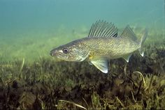 Fishing Tackle Tip #4 : Where Do Walleye Live and How To Find Them