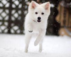 American Eskimo Dog is amazing.#AmericanEskimoDog #dogs