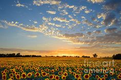 """Third Place Winner in the Midwest America Contest, """"Best of September 2014""""  """"Sunflowers at Sunset"""" by Catherine Sherman.   Thousands of sunflowers glow at sunset in a Kansas field near the city of Lawrence in Douglas County."""