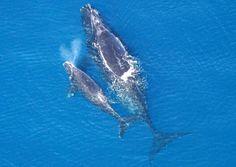 Atlantische Nordkaper (Eubalaena glacialis) sind vom Aussterben bedroht.     ...