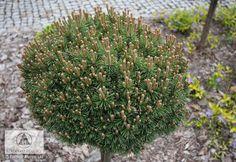 Pinus mugo 'Kleiner Prinz' -