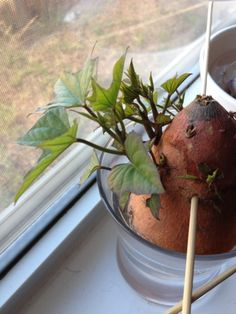 How to grow sweet potato slips (Cut a sweet potato in half, then submerge 1/3 to 1/2 in water. Once it reaches THIS stage then you can carefully pull the slips out and submerge the exposed end in water to get roots to grow!)
