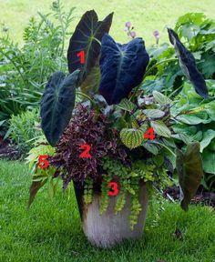 2012 Container Design Challenge Results: Fantastic Foliage | Fine Gardening Ellen Mann Fox Point, Wisconsin  1. Elephant's ear (Colocasia esculenta cv., Zones 8-11) 2. Coleus (Solenostemon scutellarioides cvs., Zones 12-13) 3. Golden creeping Jenny (Lysimachia nummularia 'Aurea', Zones 4-8) 4. Rex begonia (Begonia cv., Zones 12-13) 5. Sweet potato vine (Ipomoea batatas cv., Zone 11)