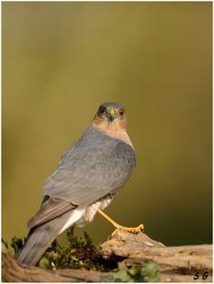 Epervier d'Europe ( Accipiter nisus)  (Sparrow Hawk)