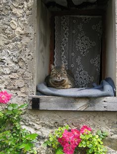 Cat in Saorge  Once in a lifetime photo of brown tabby cat with petite milk mustache lying on dusky blue blanket on wooden windowsill with lace curtains; charming rustic stone cottage with pink roses