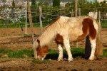Caballo - Equus caballus
