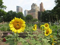 Urban Farming Growth in NYC   Sustainable Cities Collective