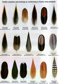 feather types and other chicken anatomy articles and pictures http://www.backyardchickens.com/forum/uploads/33115_feathertypes.jpg