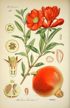 Punica Granatum. Prof. Dr. Thomé's Flora von Deutschland bd.3  Gera-Untermhaus :F.E. Köhler,1888  Biodiversitylibrary. Biodivlibrary. BHL. Biodiversity Heritage Library