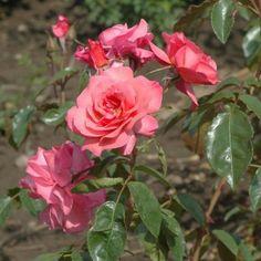 Rose 'Rosenresli' Plantet den 25/62015