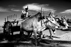 Oxen pulling a cart carrying fish out of the boats, Myanmar by Eric Lafforgue, via Flickr