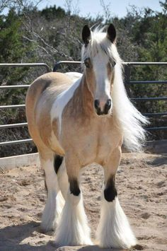Beautiful Dappled Buckskin Gypsy Vanner