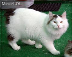 kurilian bobtail | MURMUR | Allevamento di Gatti Siberiani e Kurilian Bobtail