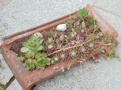 Ziegel bepflanzt mit Steinwurz