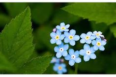 In The Forest Flowers Forget Me  Wallpapers And Images Pictures Photos 1920x1200