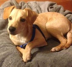 """ELLIE MAE is an adorably friendly 7-month-old, 15 lb Feist mix who is great with kids! Ellie Mae is an active little cutie-patootie. Her foster mom says """"Ellie Mae gets along with everyone! She will need someone who wants a high-energy level dog. She just wants to be loved!"""" Ellie Mae is crate trained and is currently working on leash training and housebreaking. She is spayed, and up to date on age appropriate vaccines.  Visit WWW.LULUSRESCUE.COM/ADOPT to apply!"""