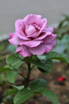 'Moody Blue' | Hybrid Tea Rose. Fryer's Roses 2008