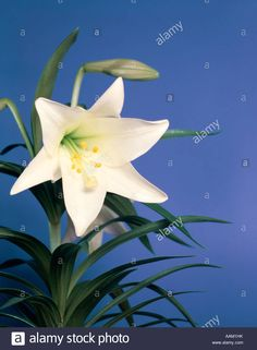 SINGLE WHITE EASTER LILY ON PURPLE BACKGROUND Stock Photo Purple Background Images, Purple Backgrounds, Palestine, Lily, Easter, Stock Photos, Floral, Illustration, Easter Activities