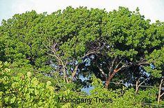 Moonshadow Villa Montserrat West Indies Holiday Rental | Montserrat trees